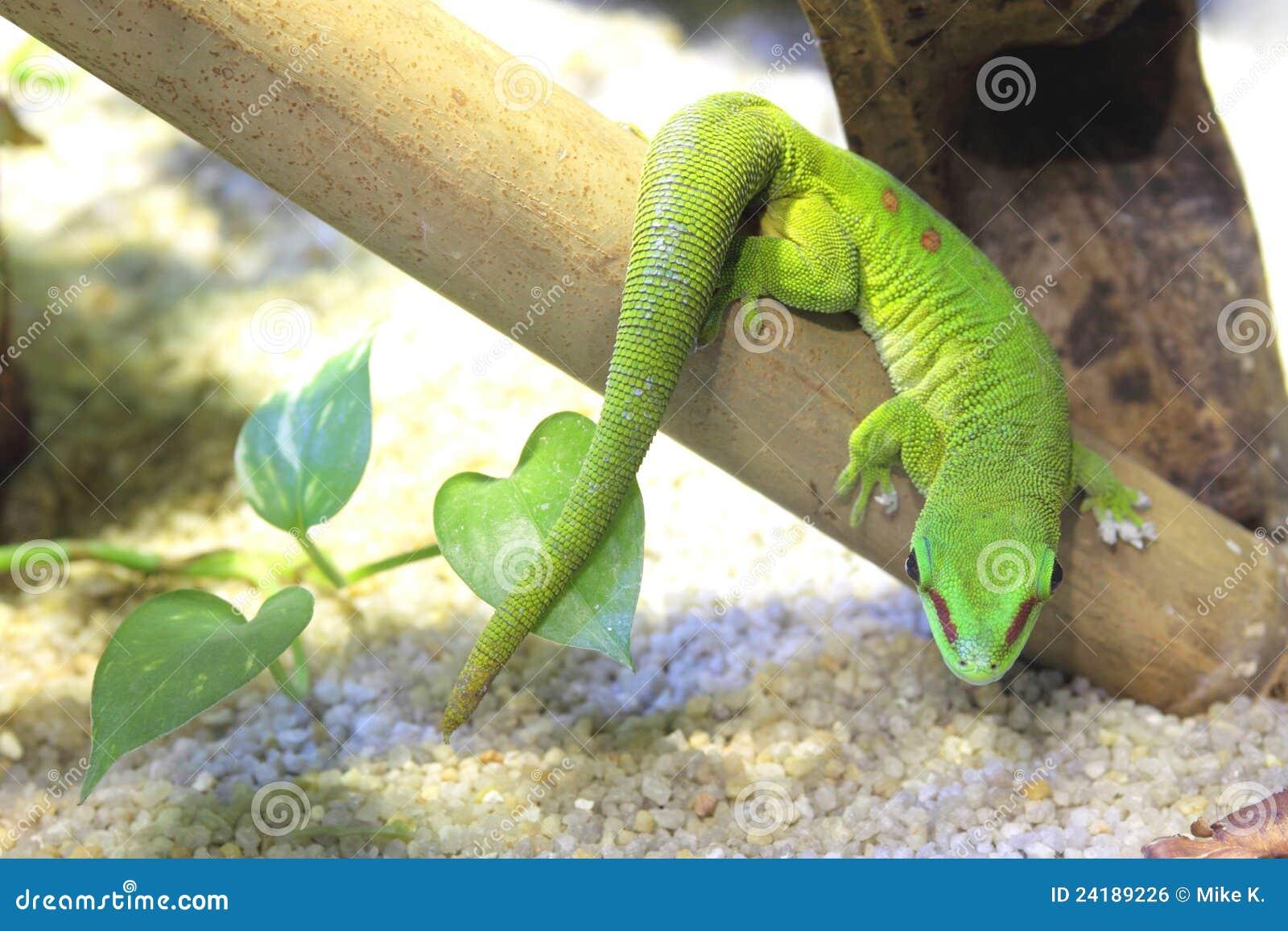 Gecko de jour du Madagascar