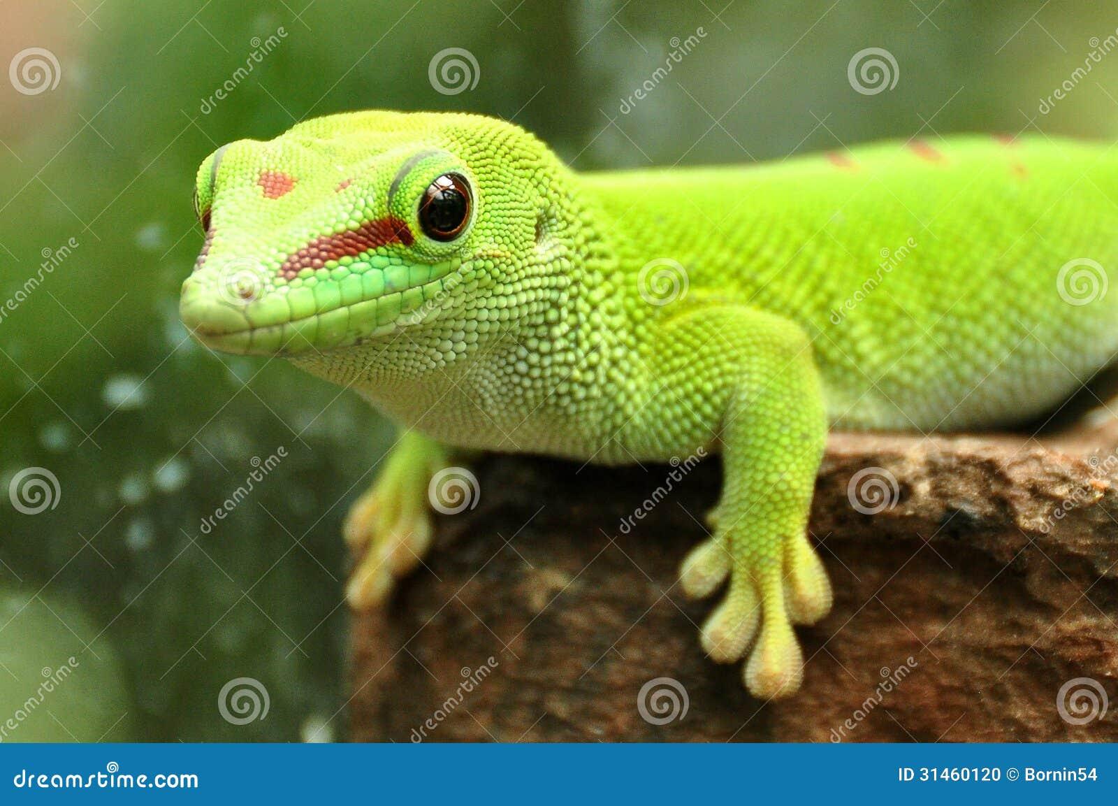 Gecko de jour du Madagascar,