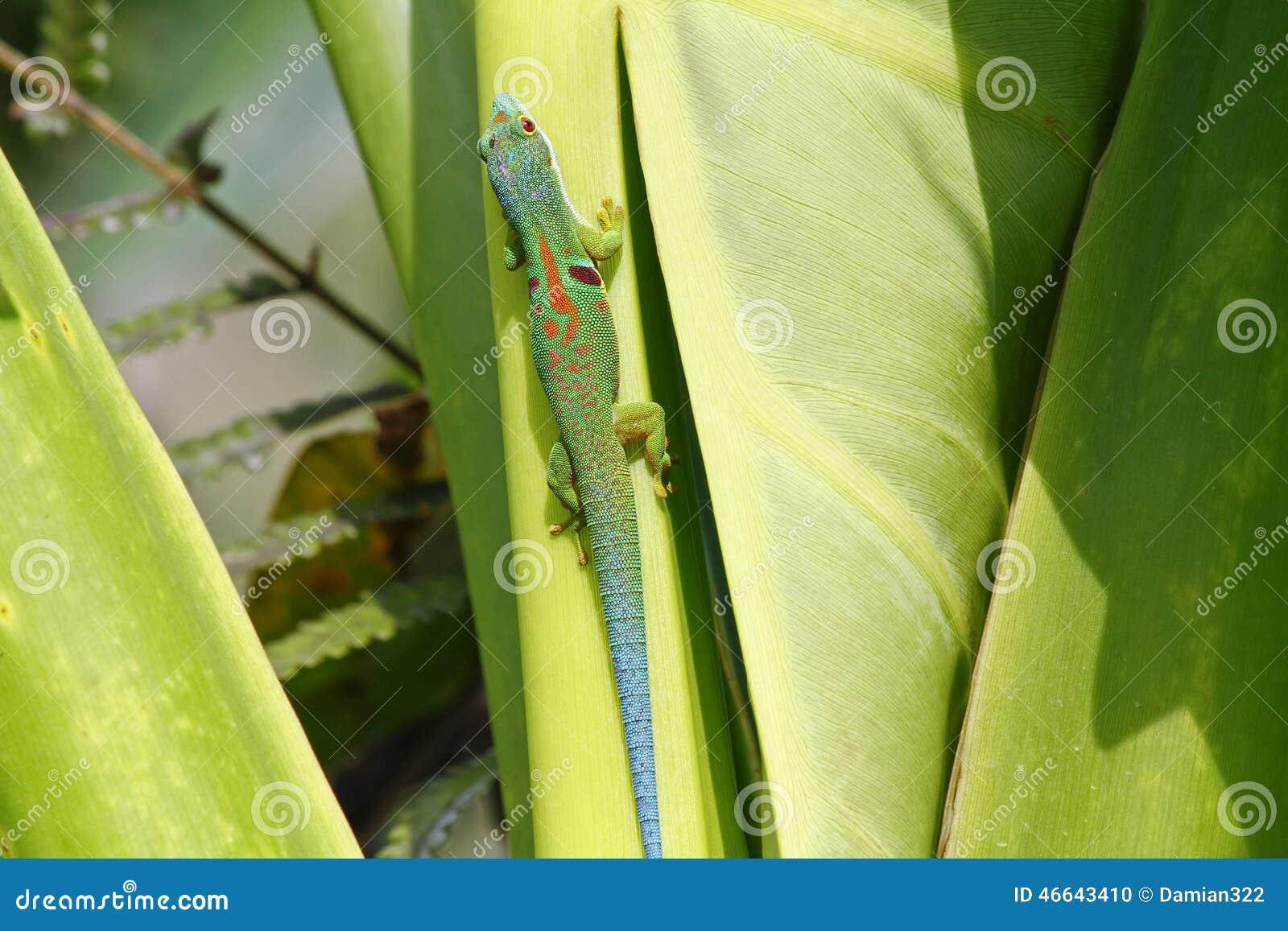 Gecko de jour du Madagascar (madagascariensis de Phelsuma)