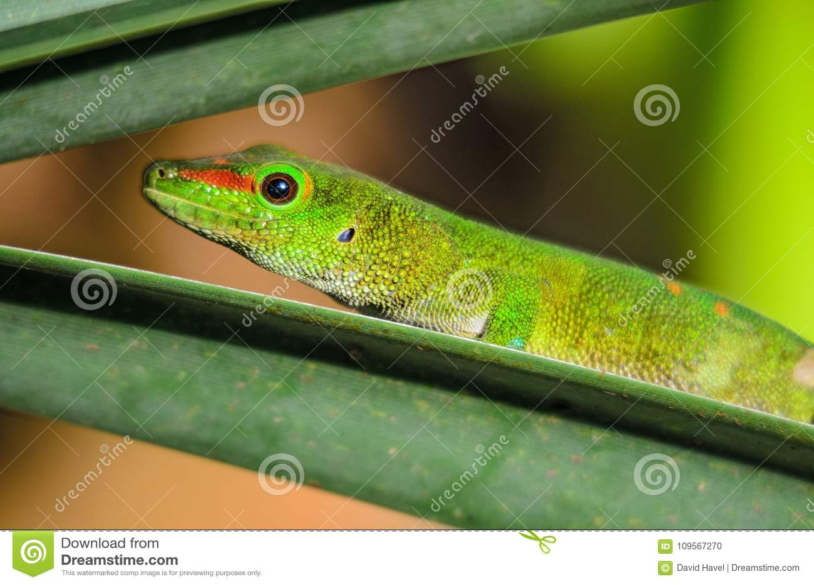 Gecko de jour du Madagascar - madagascariensis de Phelsuma