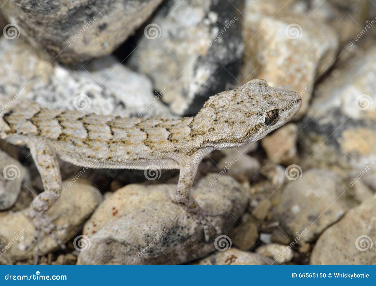 Gecko de Kotschys