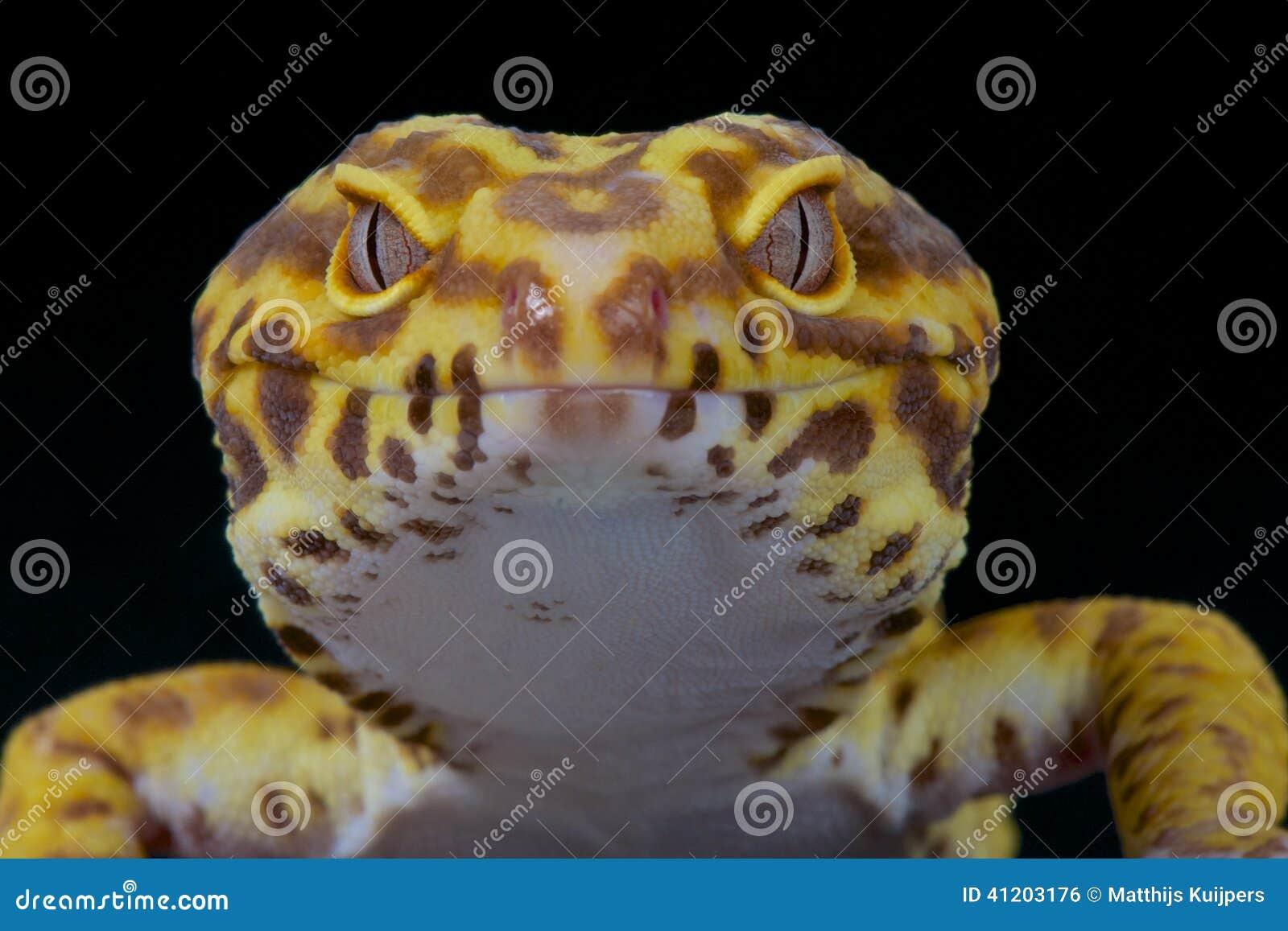 Gecko de léopard