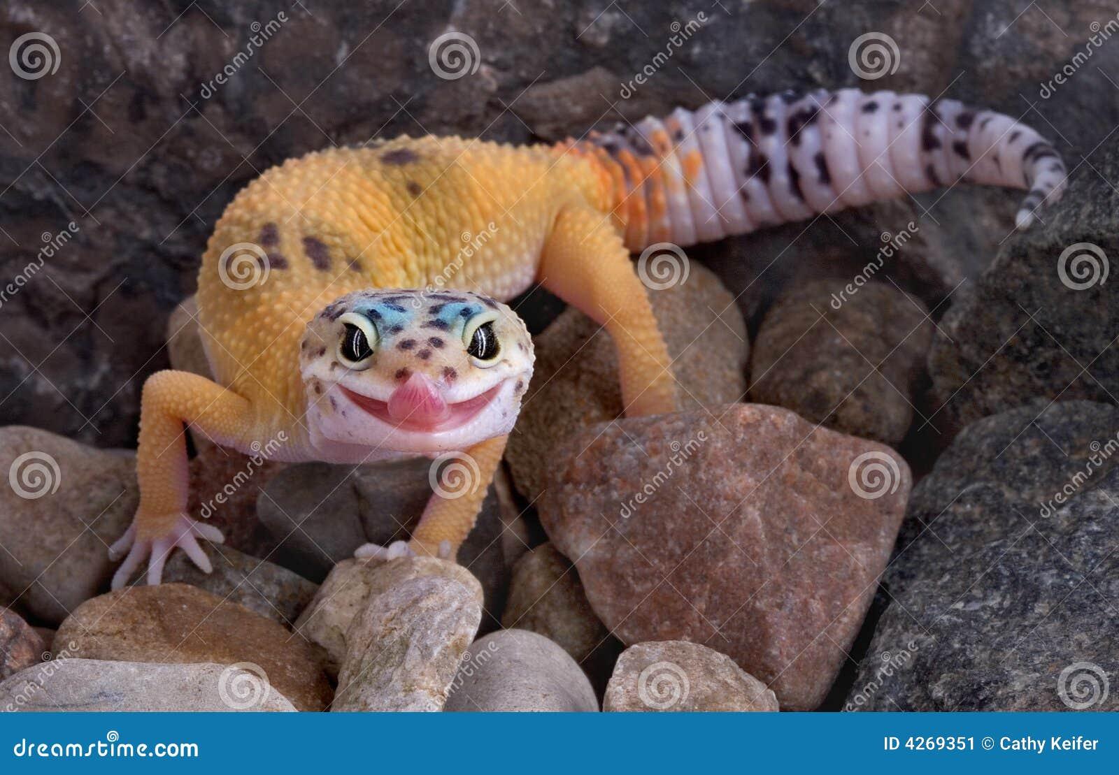 Gecko de léopard collant la langue à l extérieur