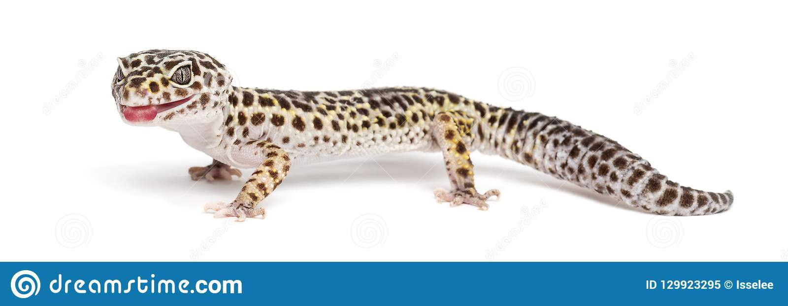 Gecko de léopard, macularius d Eublepharis