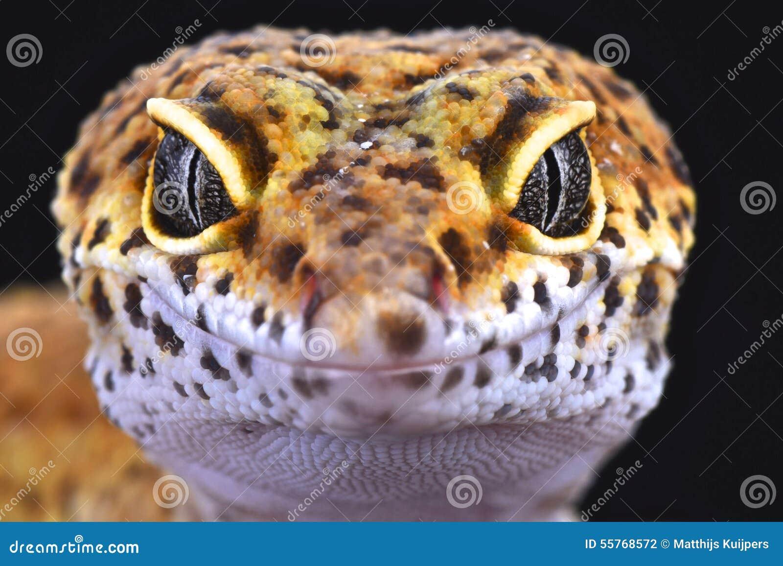 Gecko de léopard (macularius d Eublepharis)