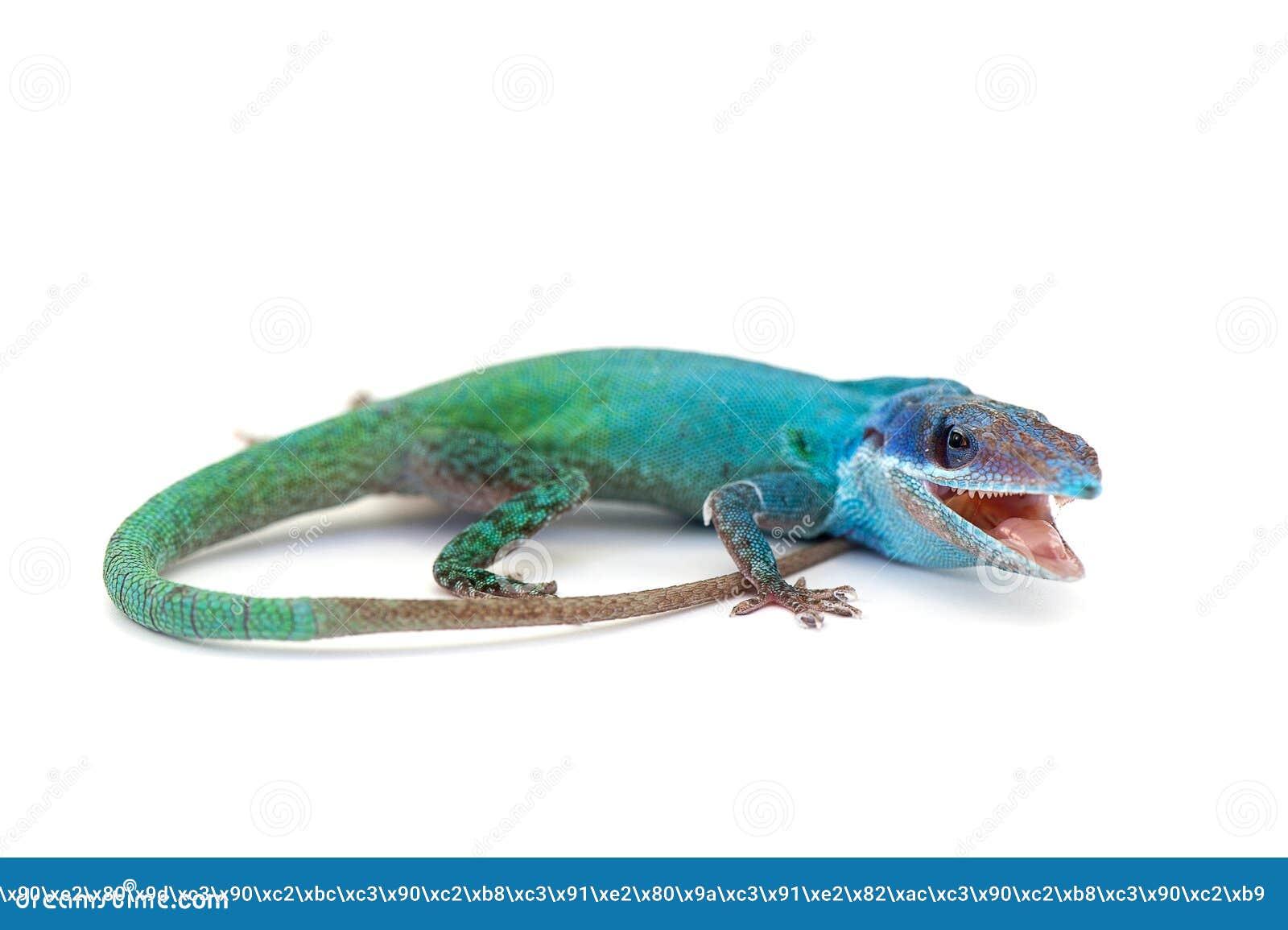 Gecko de lézard d isolement sur le blanc