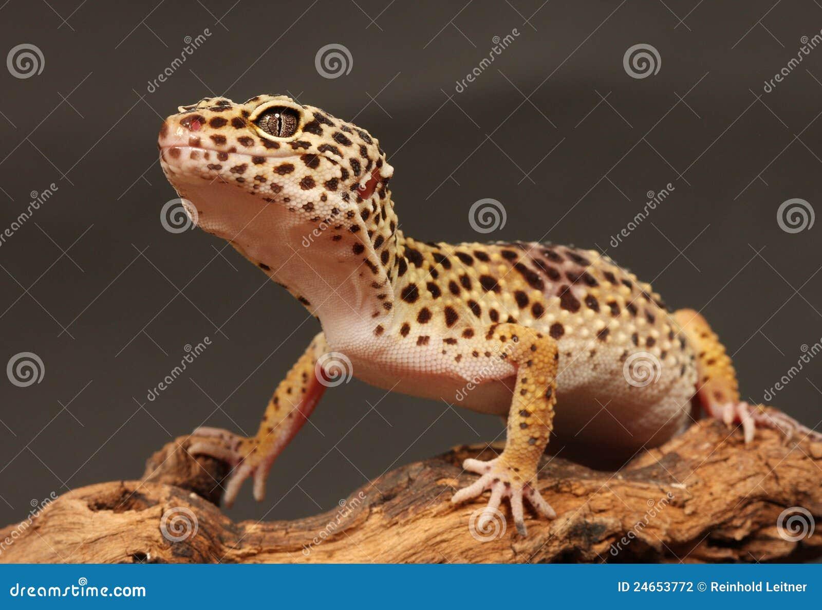 Gecko de l?opard