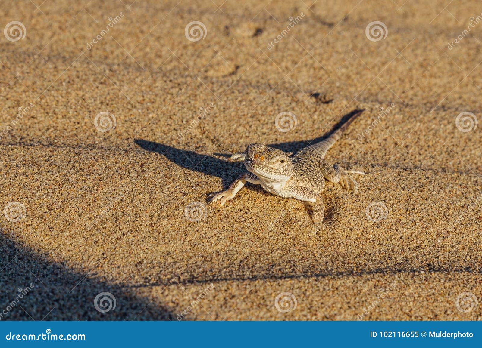 Gecko de sable de désert