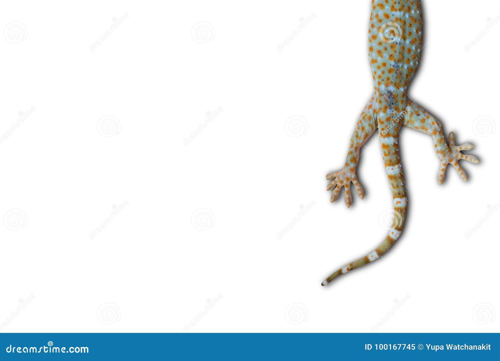 Gecko de Tokay