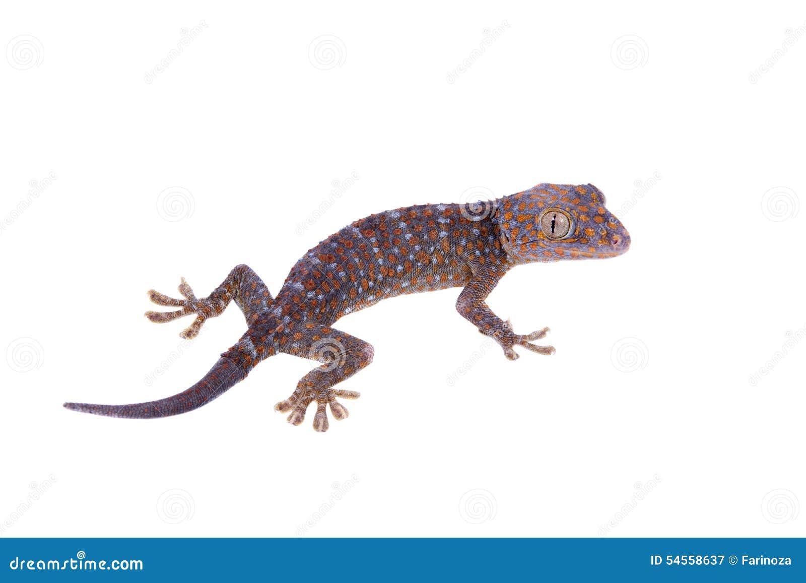 Gecko de Tokay d isolement sur le fond blanc