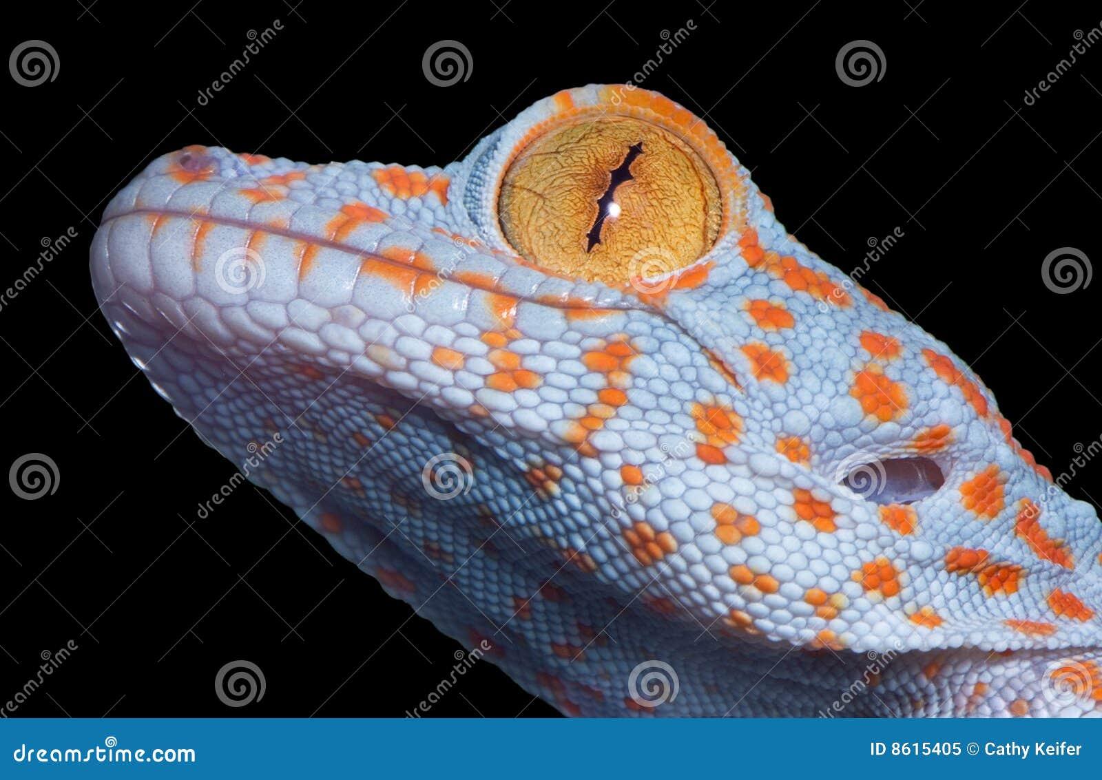 Gecko de Tokay de chéri