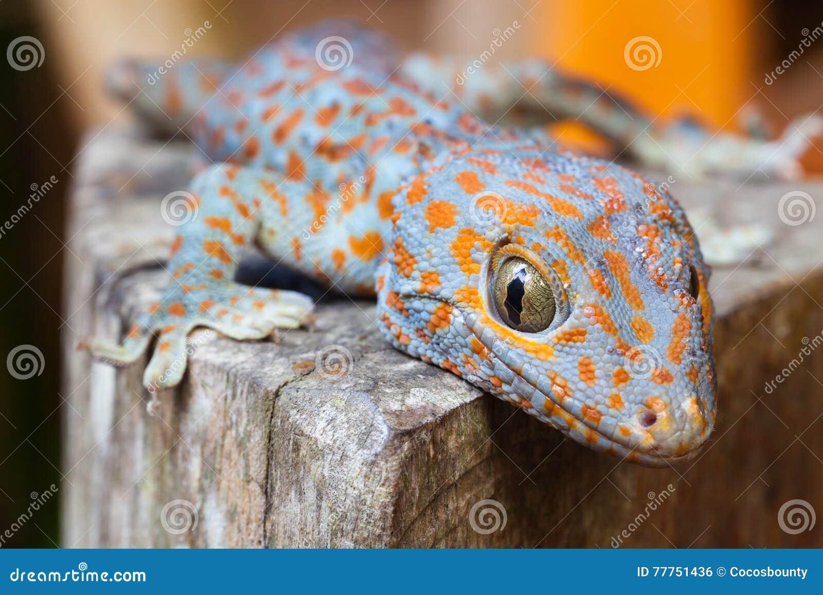 Gecko de Tokay, gecko de Gekko