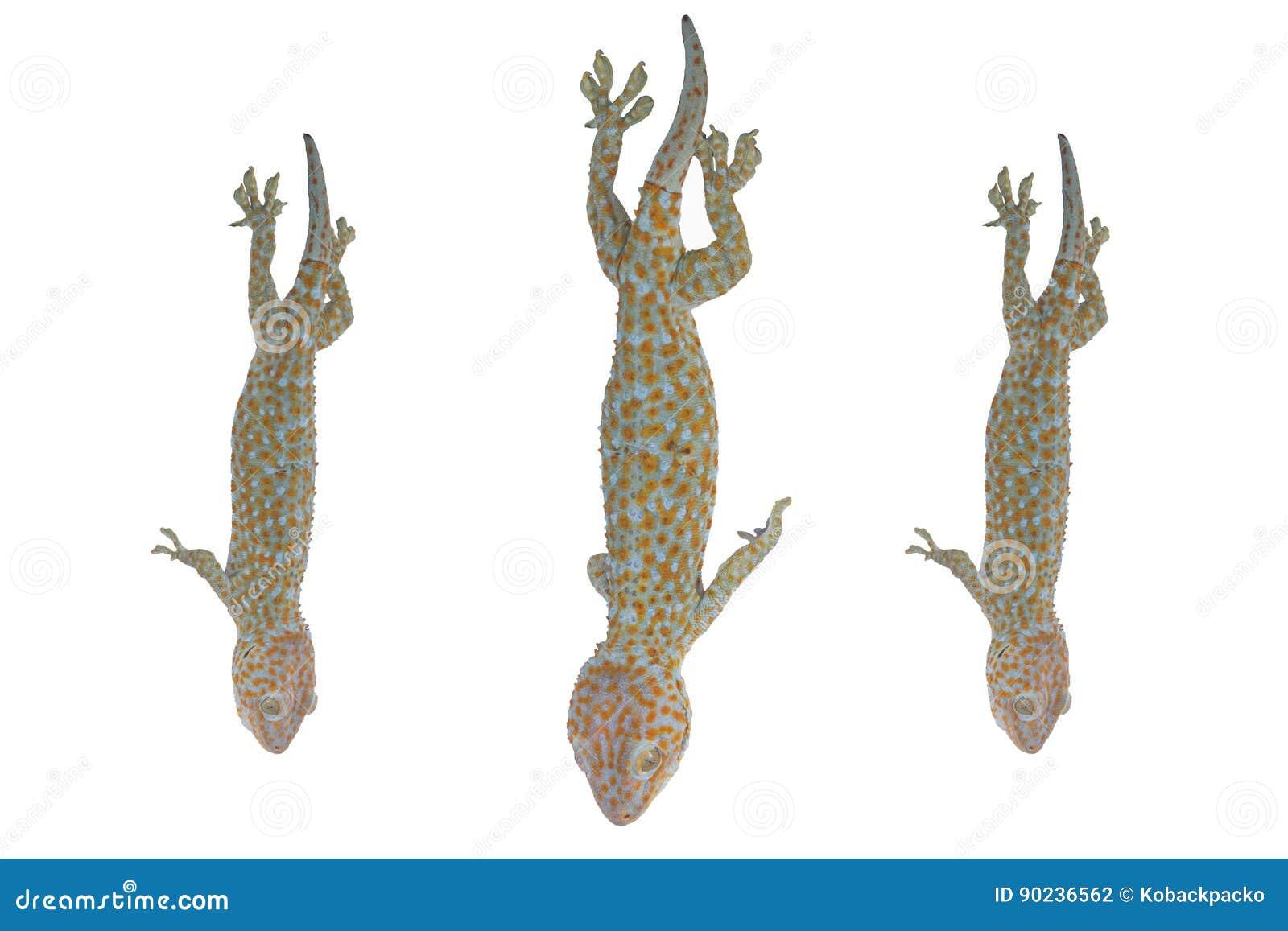Gecko de Tokay, gecko de Gekko, sur le fond blanc