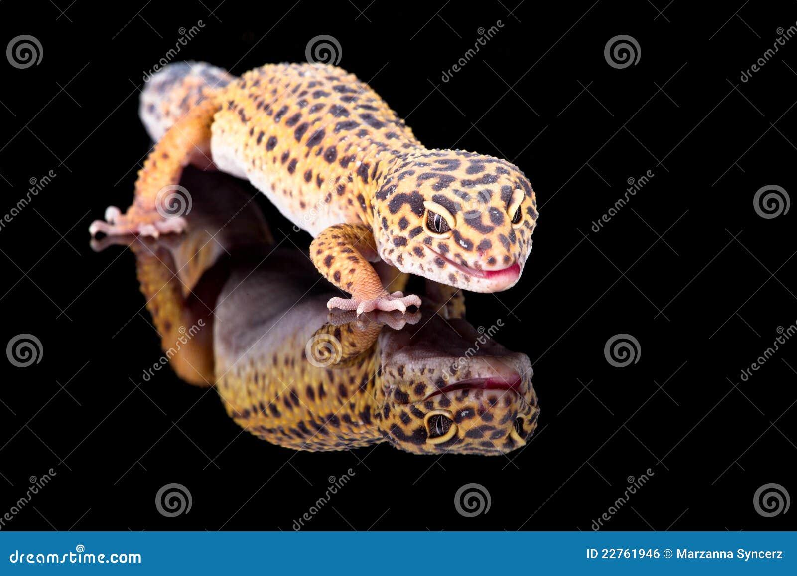 Gecko del leopardo