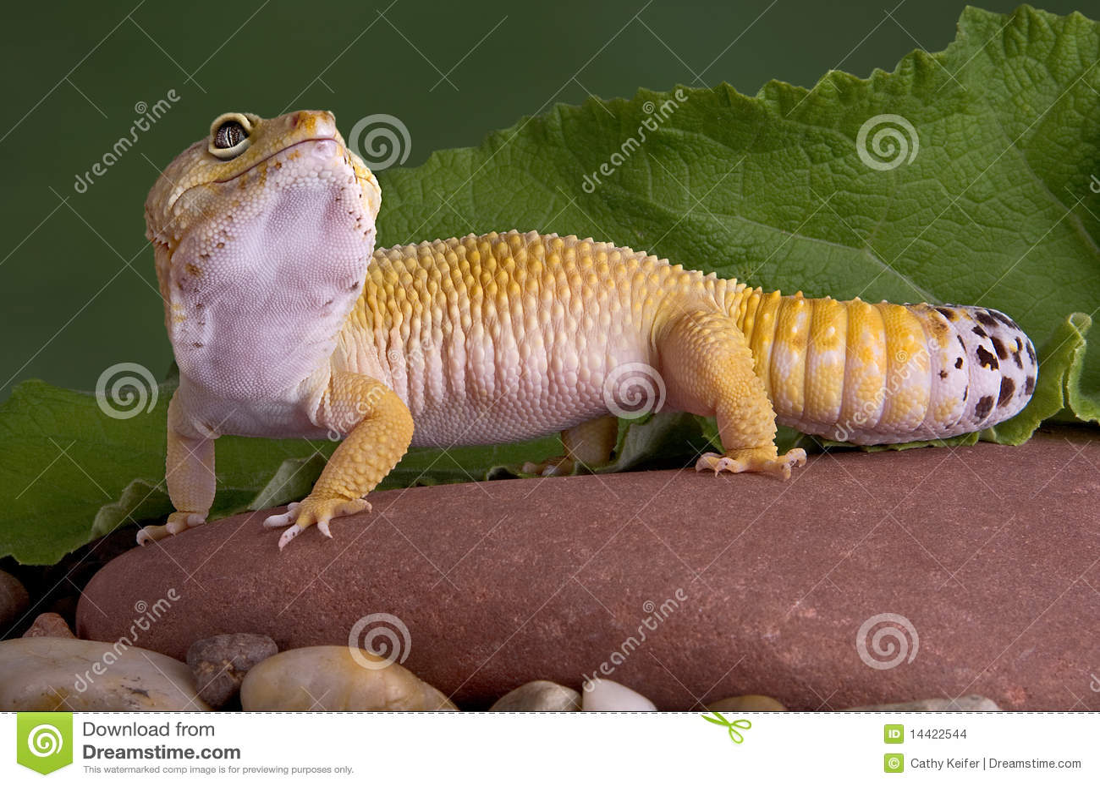 Gecko del leopardo que mira para arriba