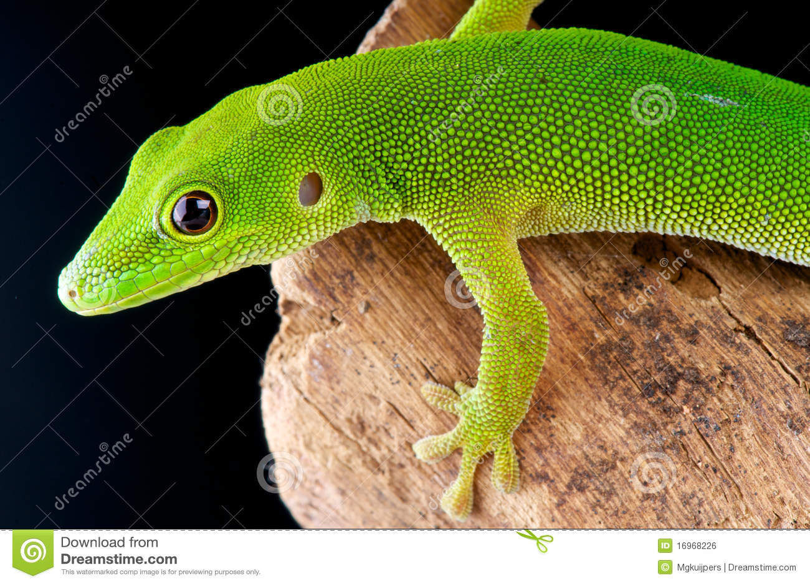 Gecko di giorno dell isola di Pemba
