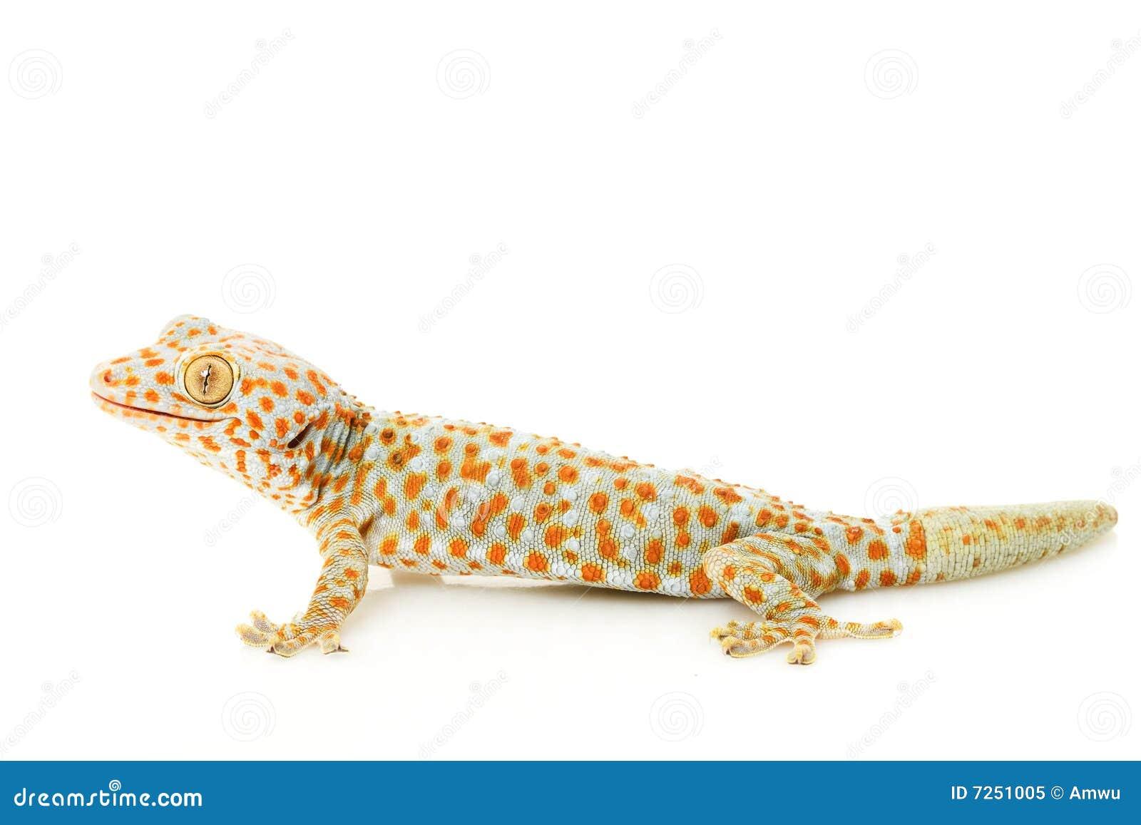 Gecko di Tokay