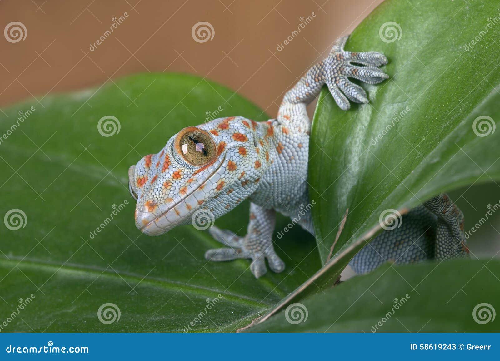 Gecko di Tokay (gecko di Gekko)