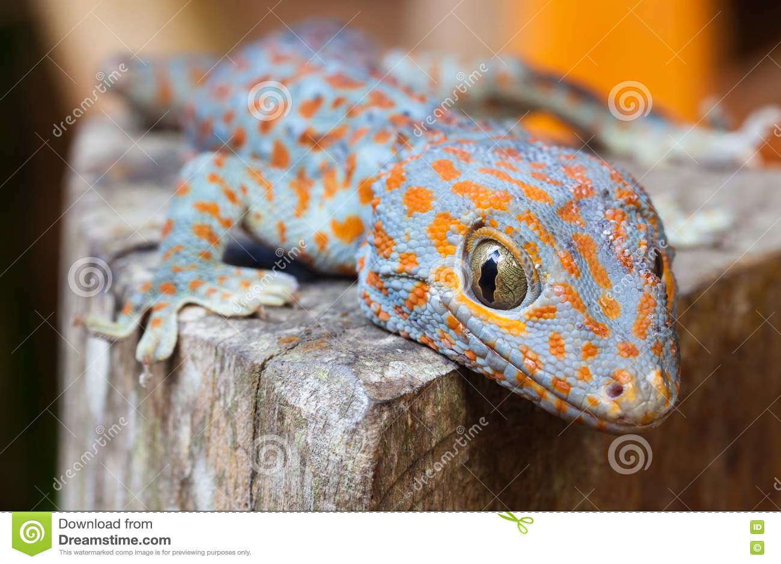 Gecko di Tokay, gecko di Gekko
