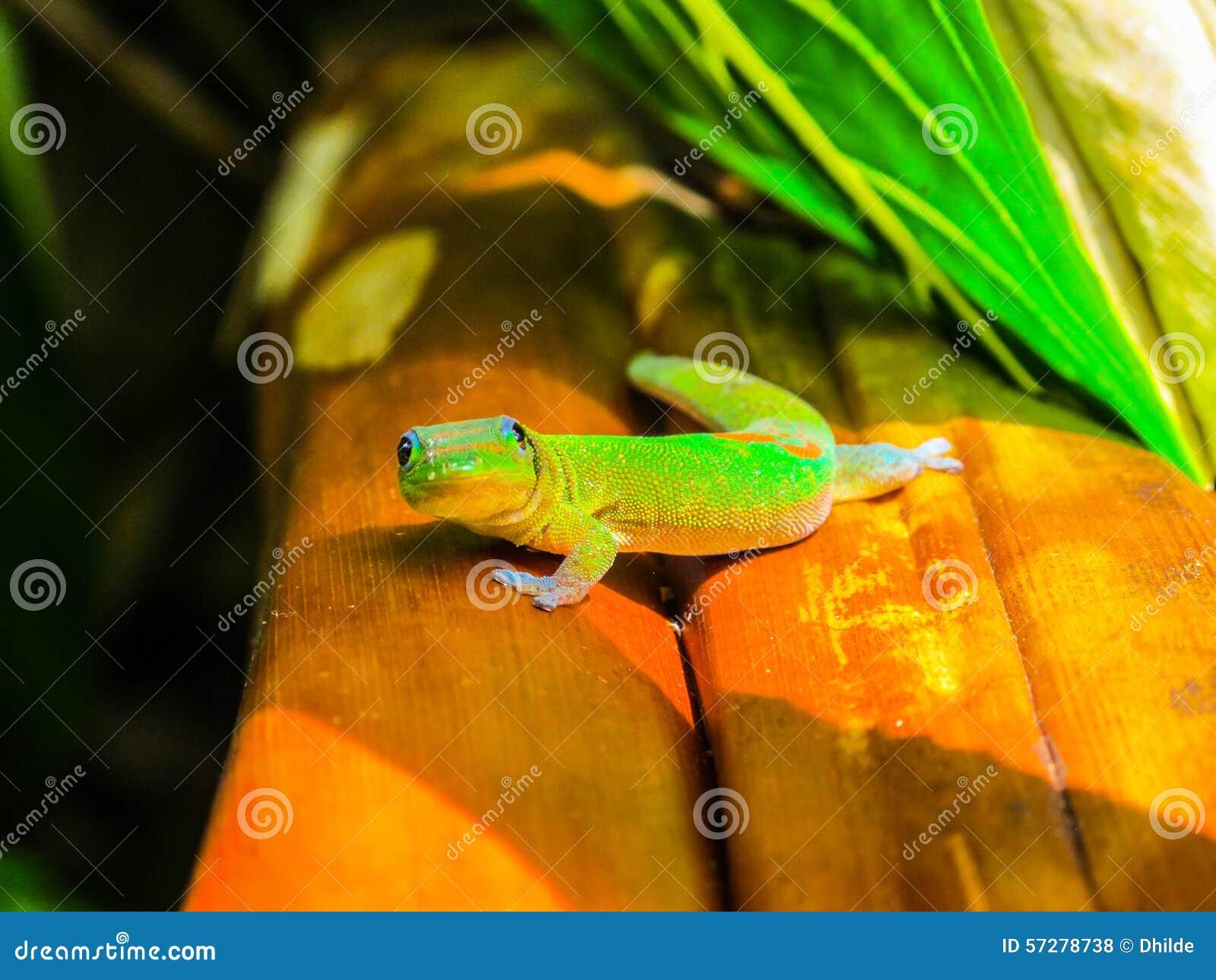 Gecko en Hawaï