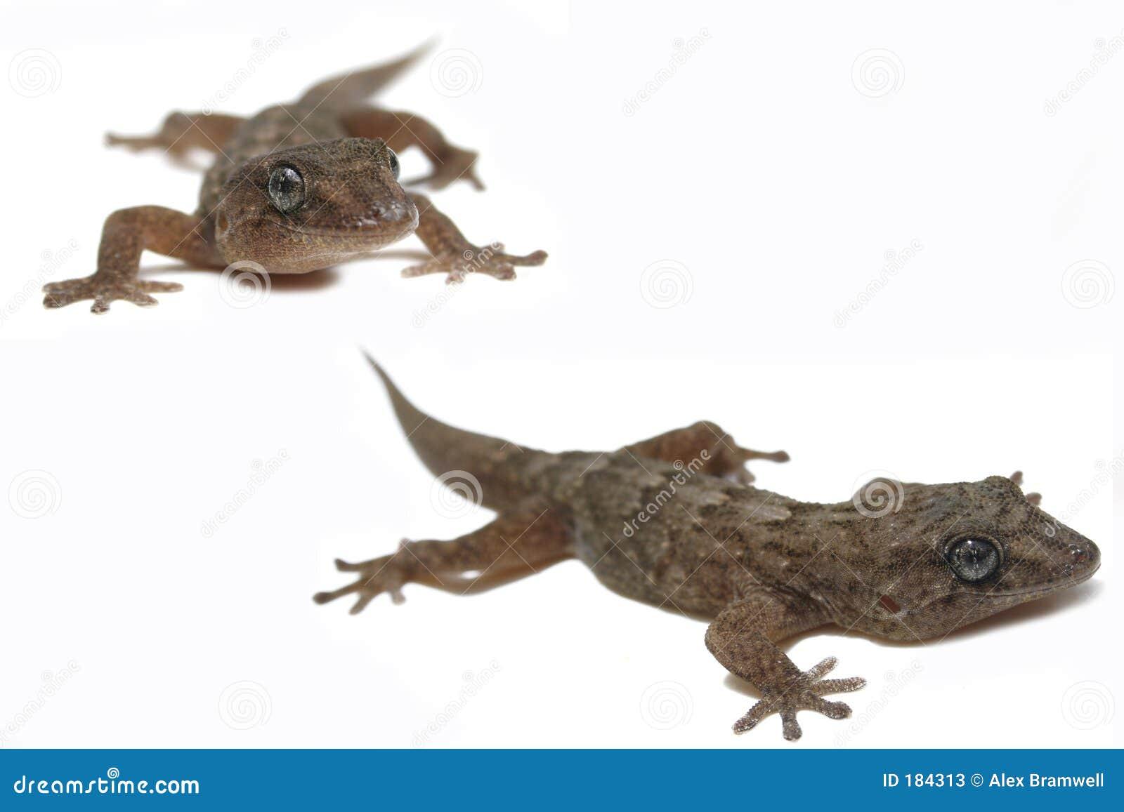 Gecko fabuloso