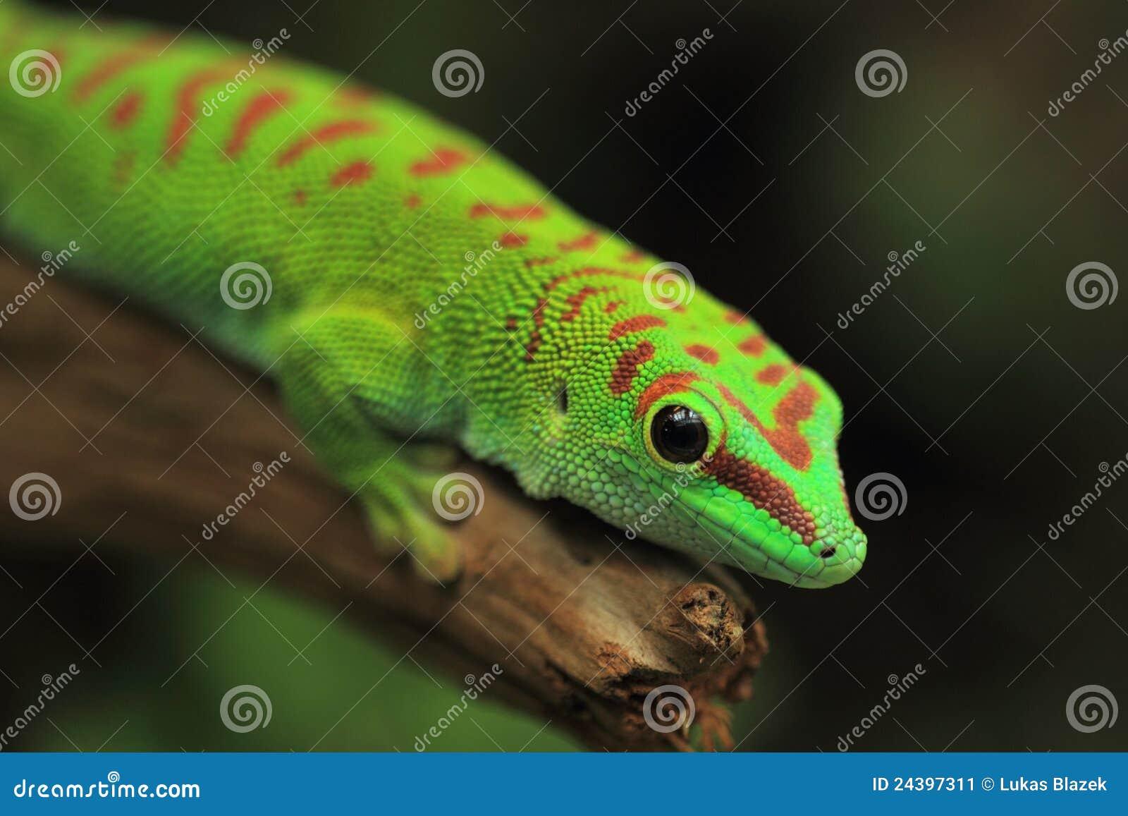 Gecko géant de jour du Madagascar