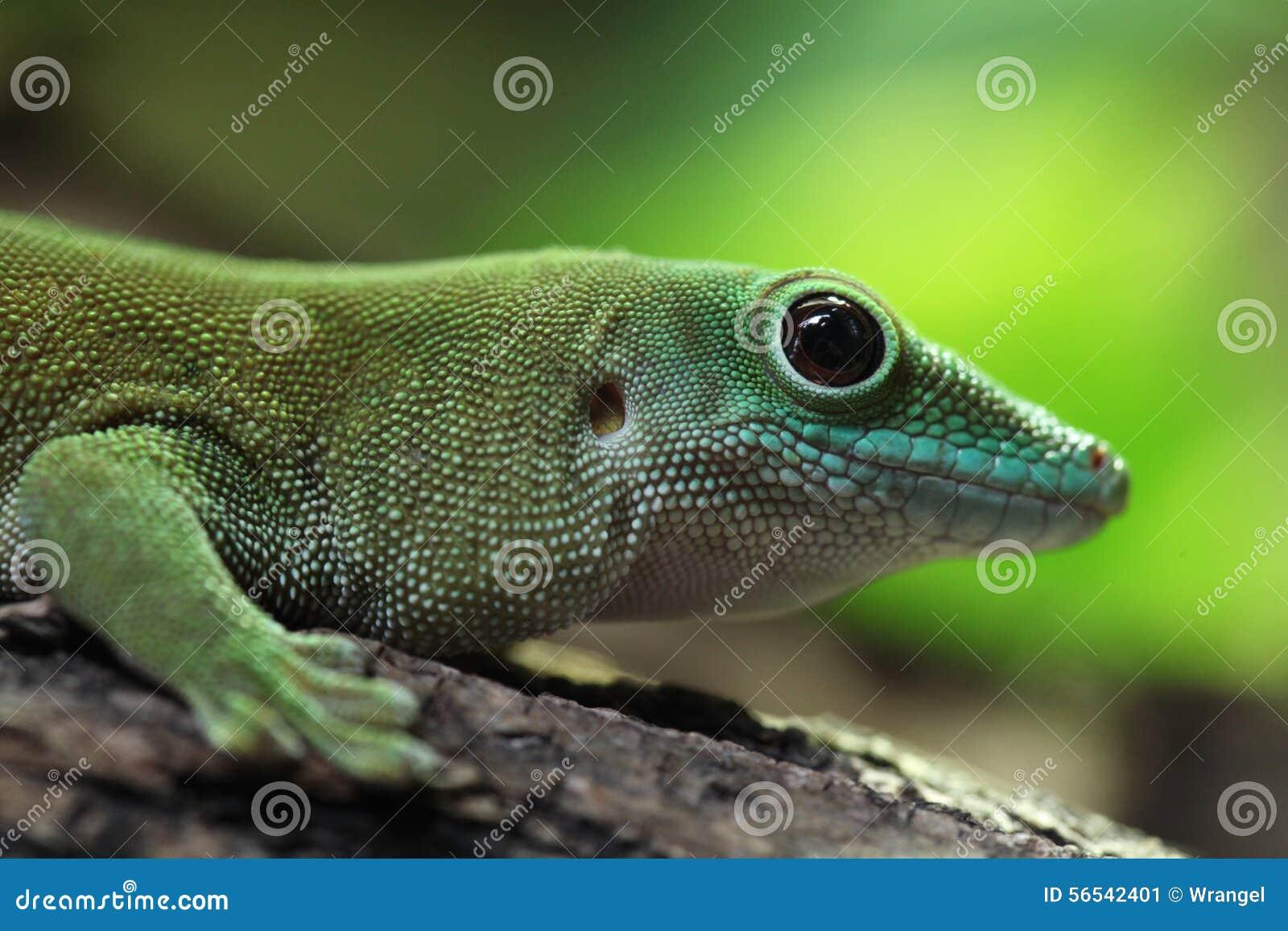 Gecko géant du jour de Koch (madagascariensis Kochi de Phelsuma)