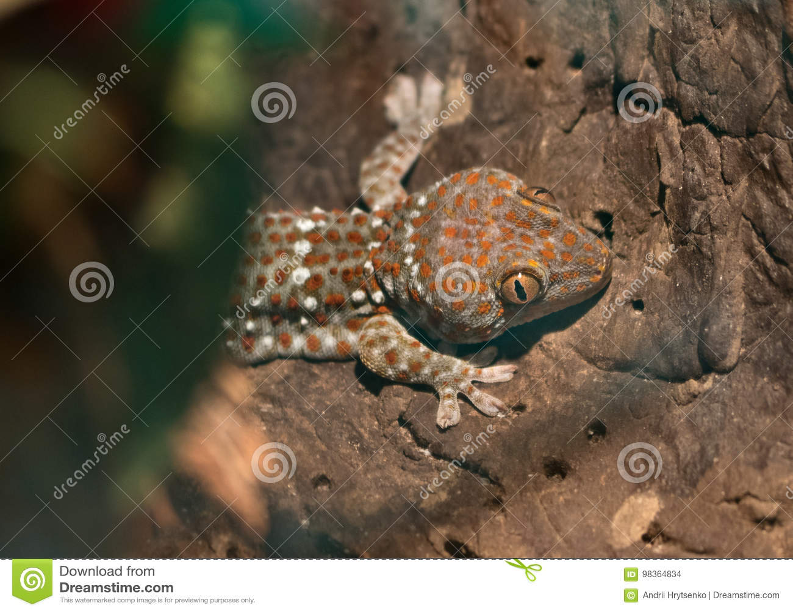 Gecko Gekko