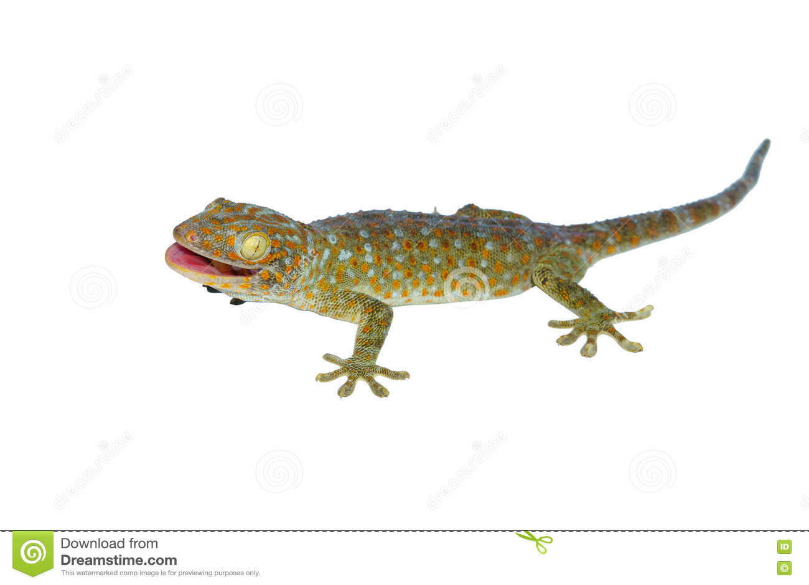 Gecko getrennt auf Weiß