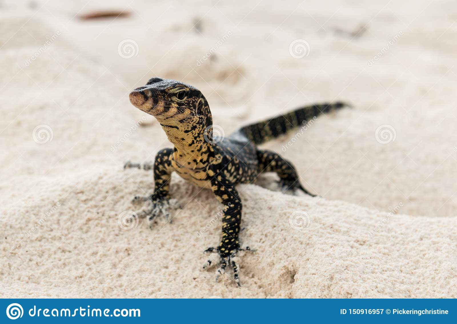 A gecko hunts for prey on a Thai beach