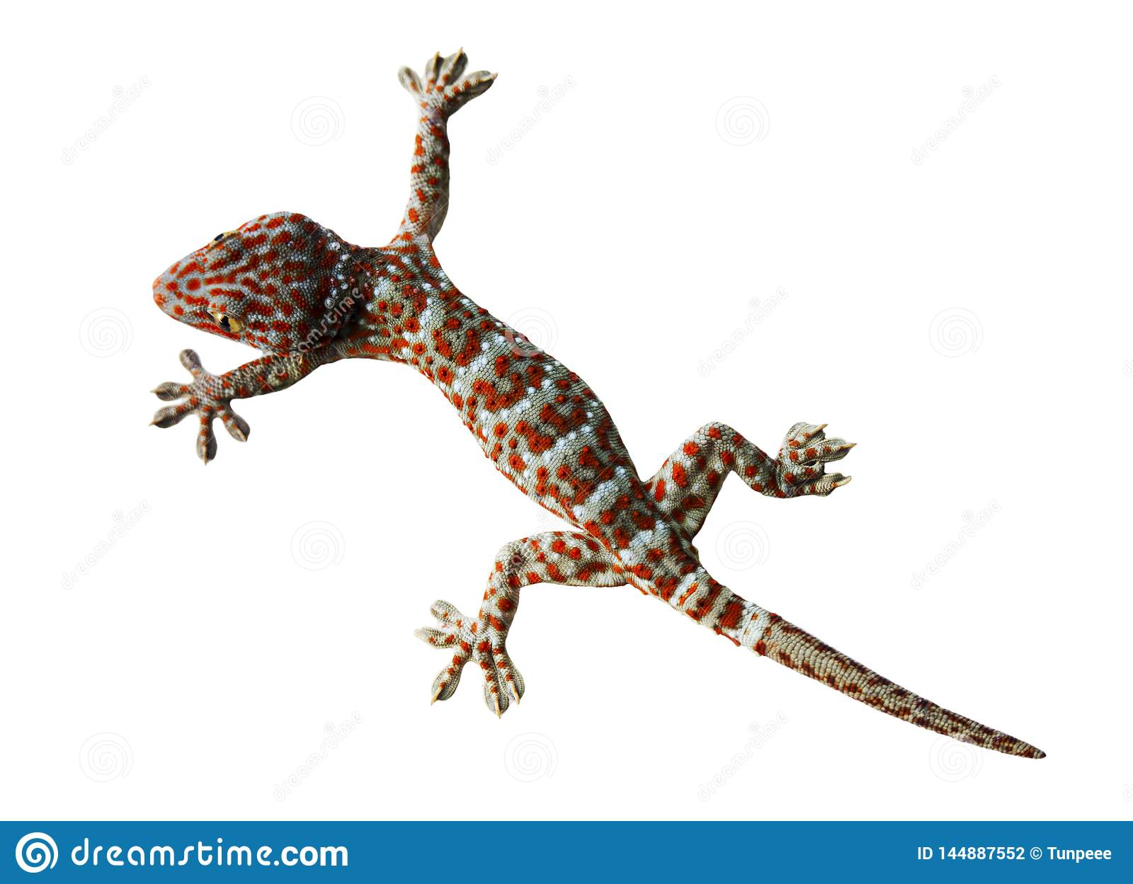 Gecko isolated on a white background