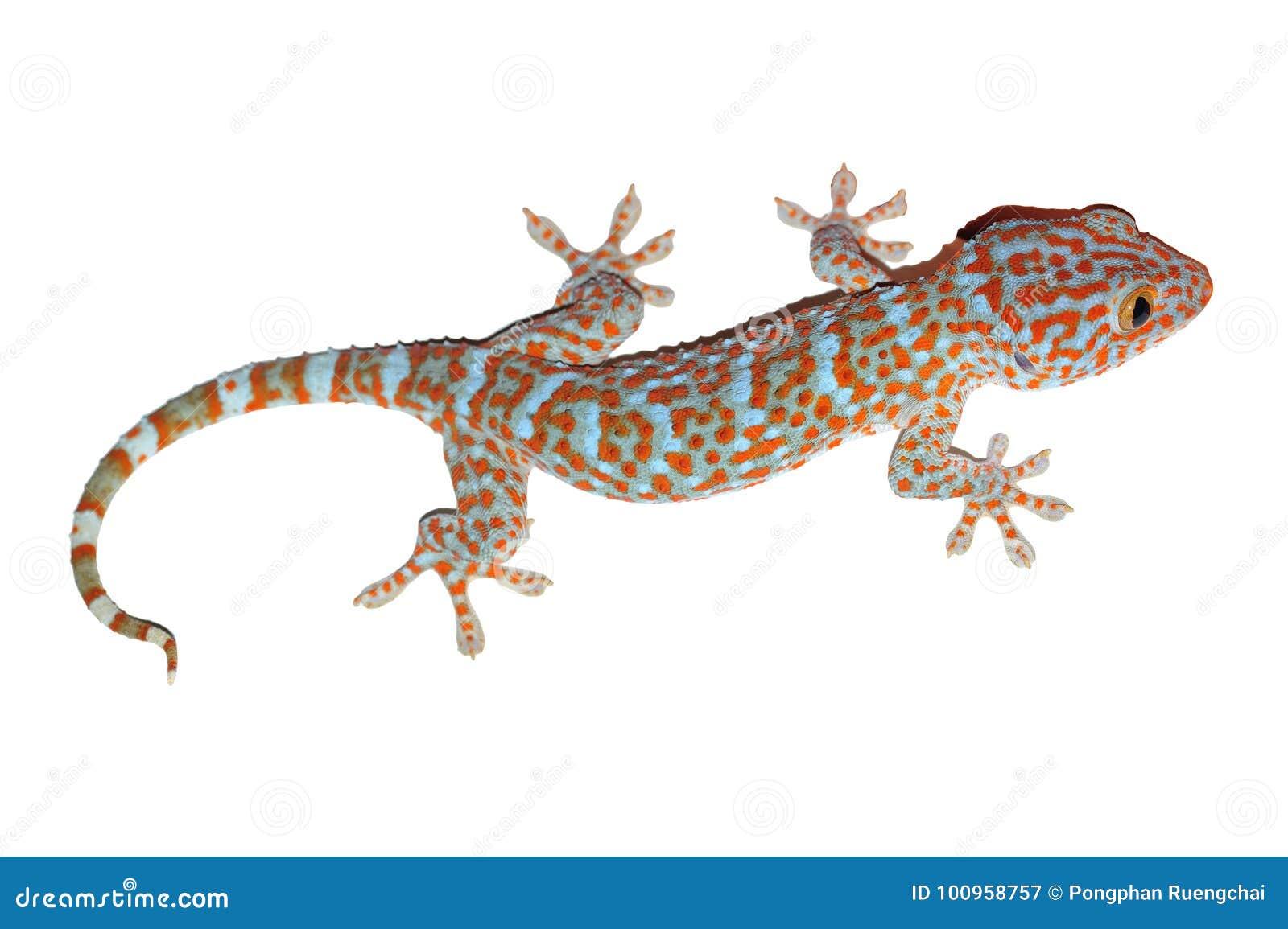 Gecko isolato su bianco