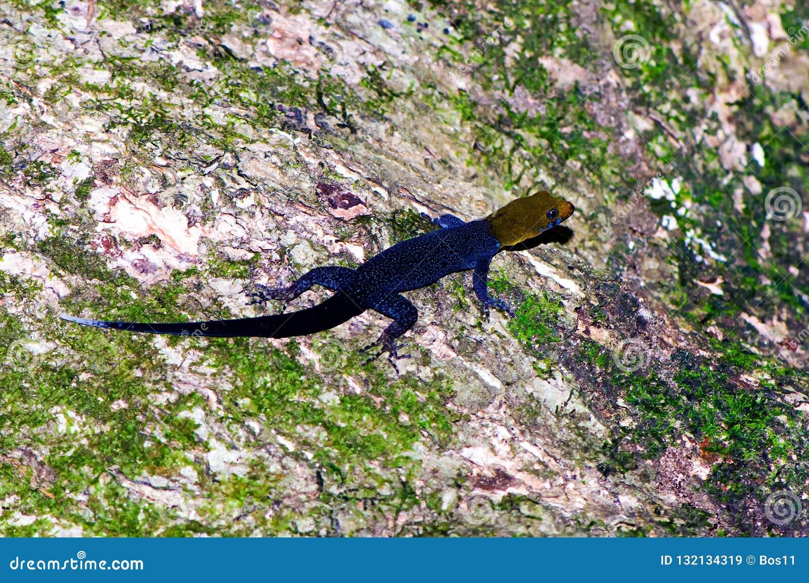 Gecko Jaune-dirigé