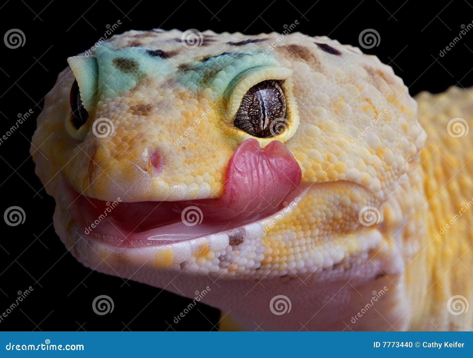 Gecko léchant des languettes