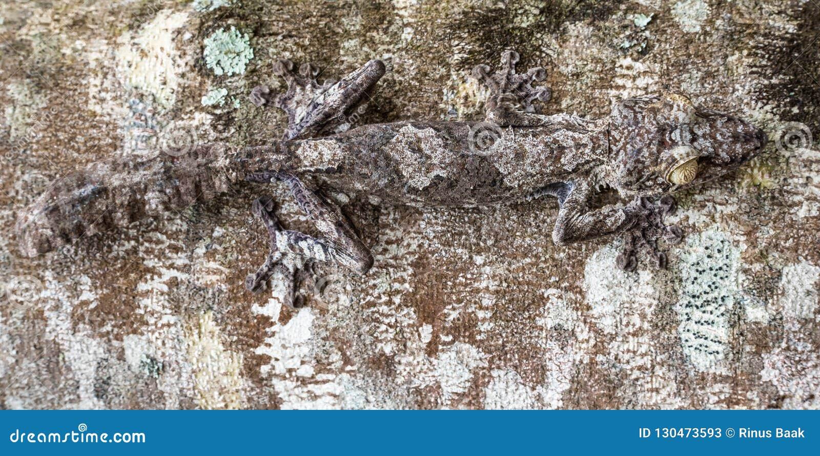 Gecko Lame-suivi