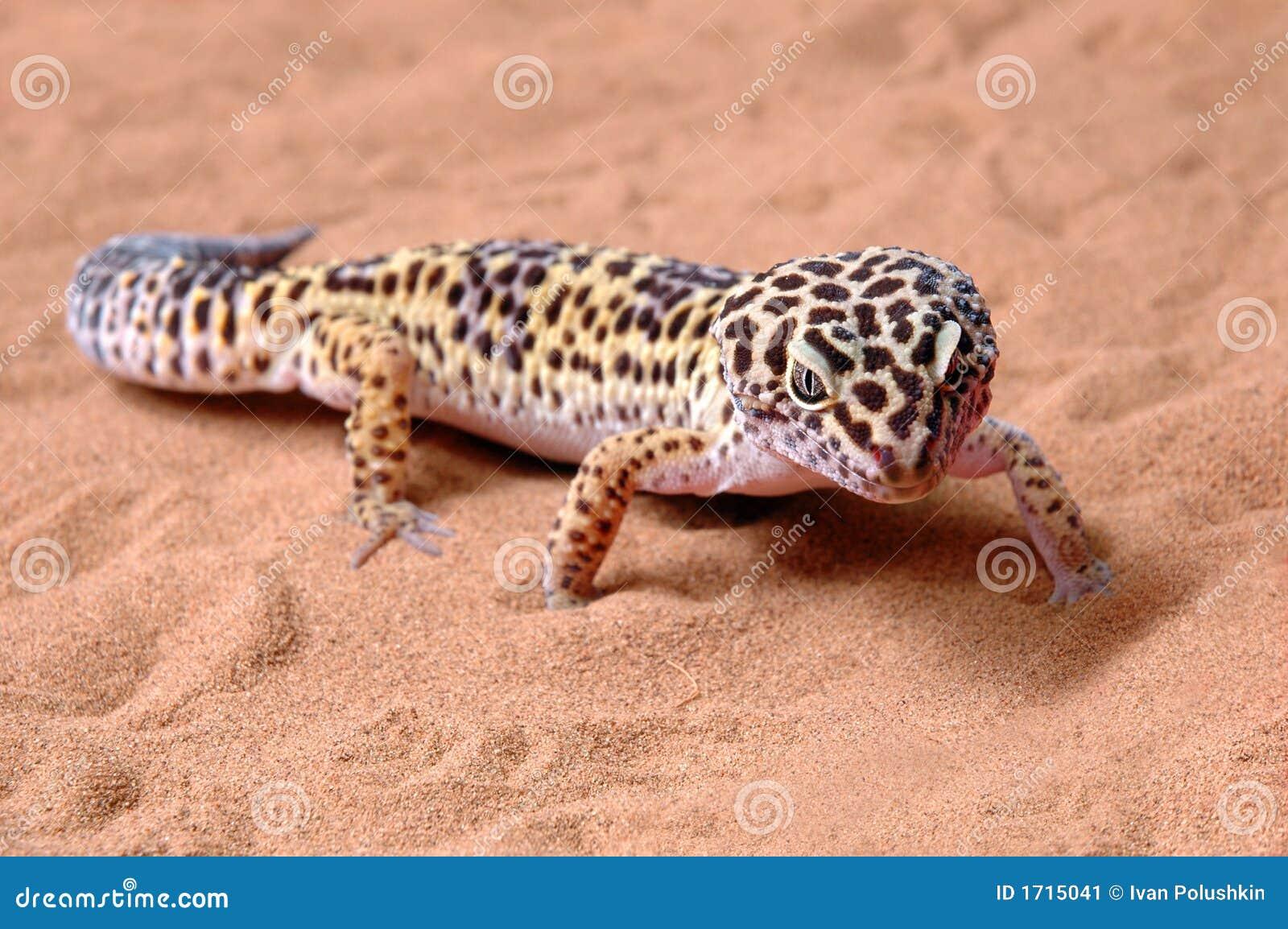 Gecko leopard on sand