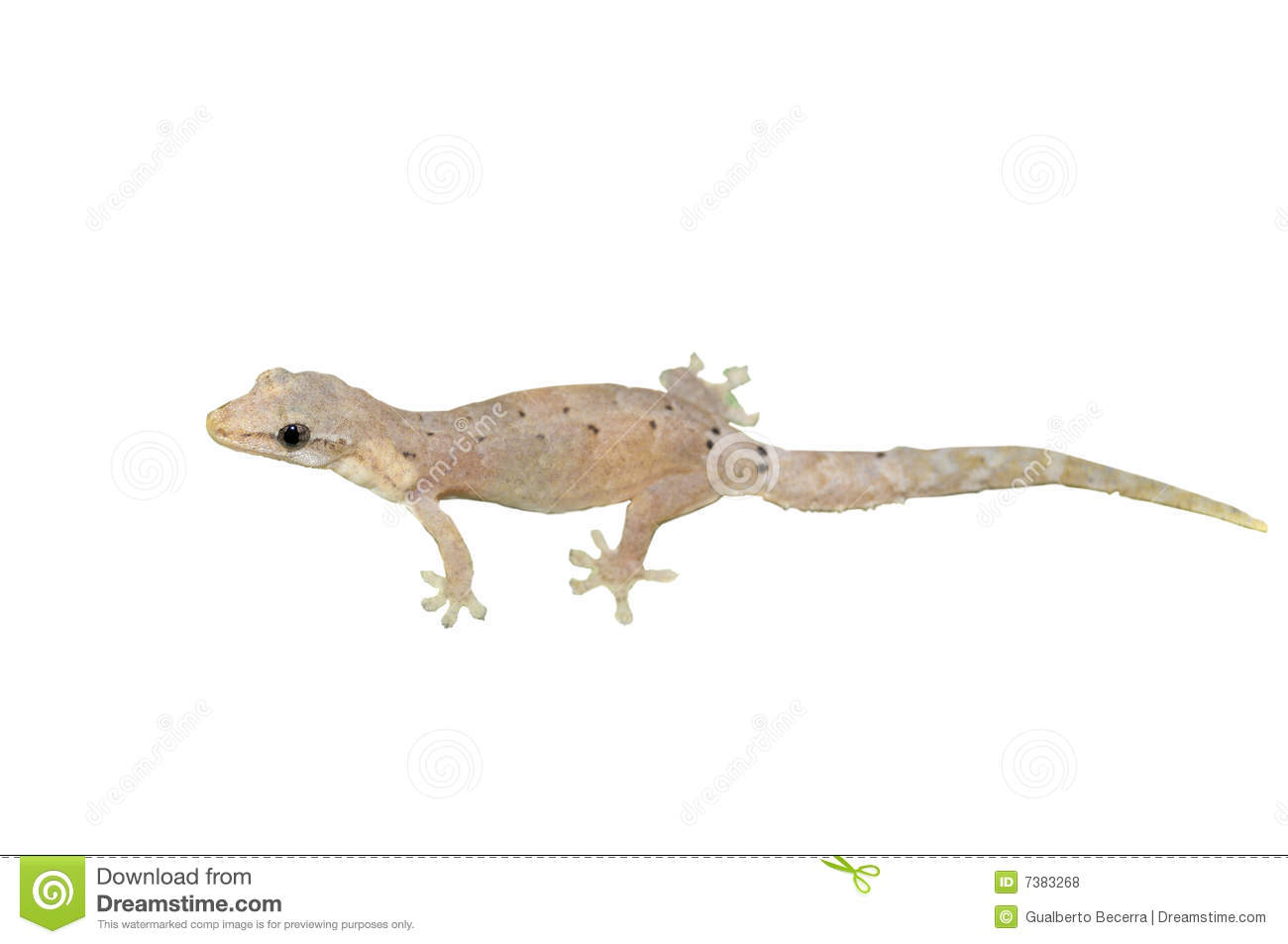 Gecko Lizard Royalty Free Stock Photos - Image: 7383268