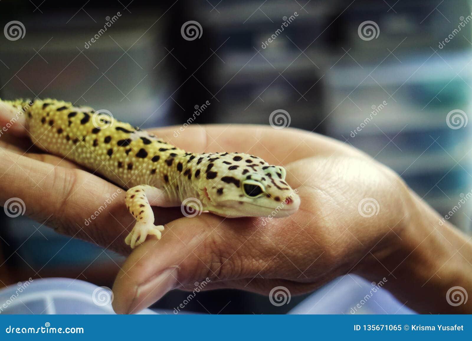 Gecko mit abgefüllter Haut an Hand