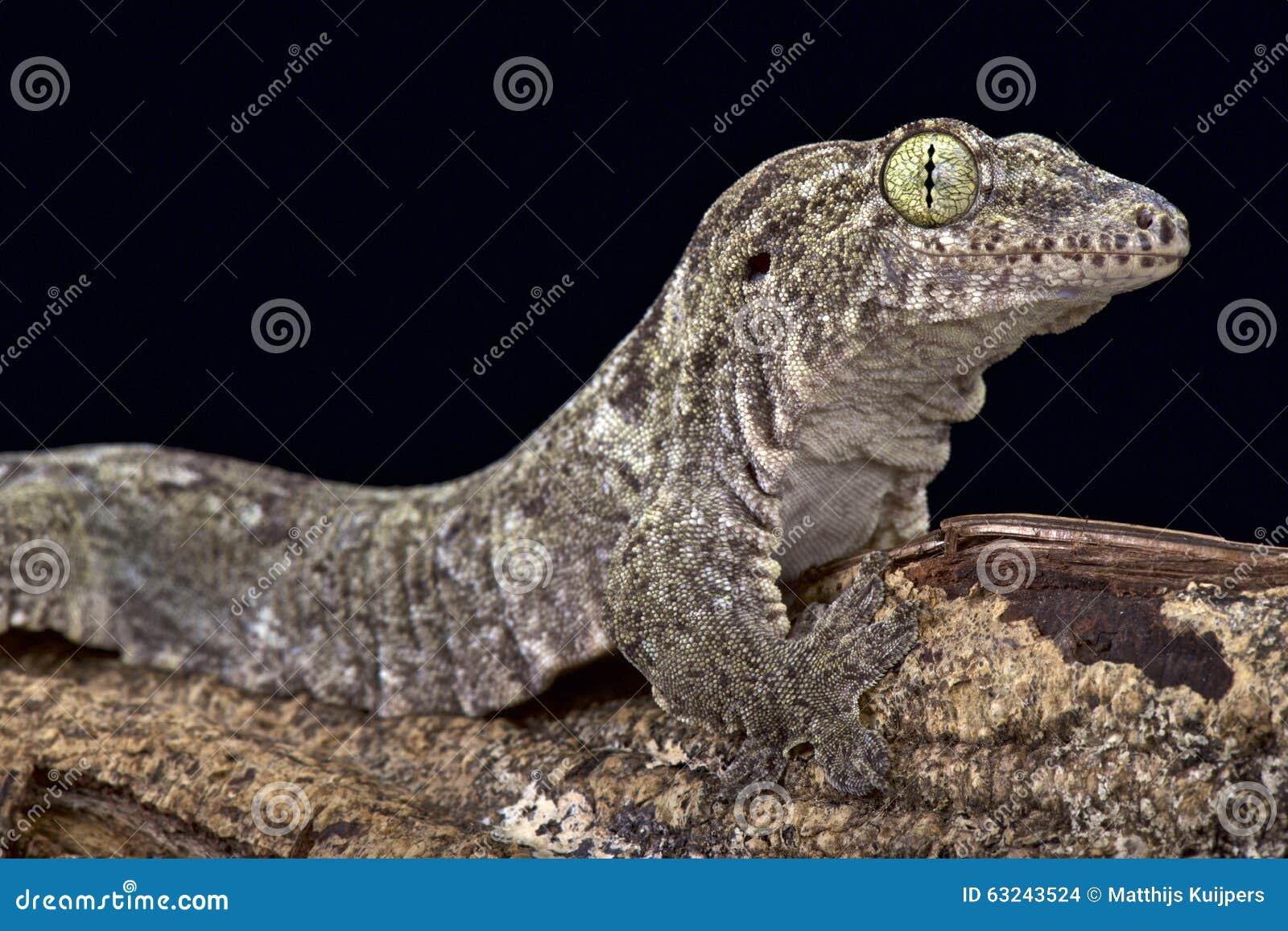 Gecko océanique (oceanica de Gehyra)