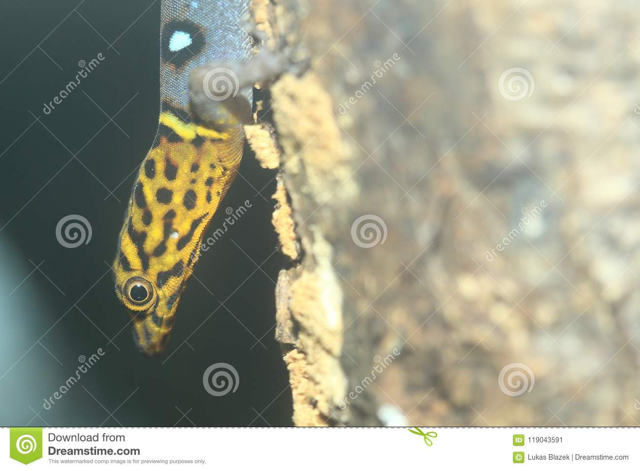 Gecko Ocellated