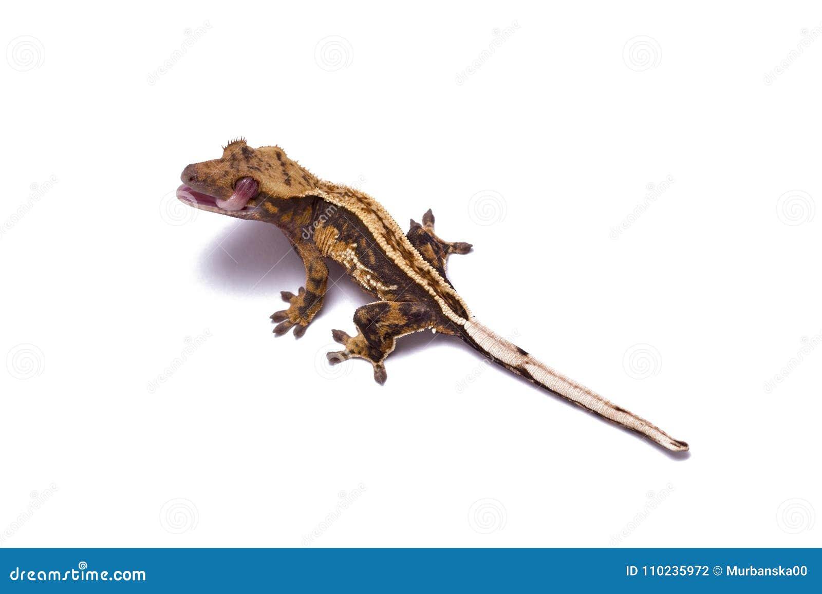 Gecko plissé léchant son oeil