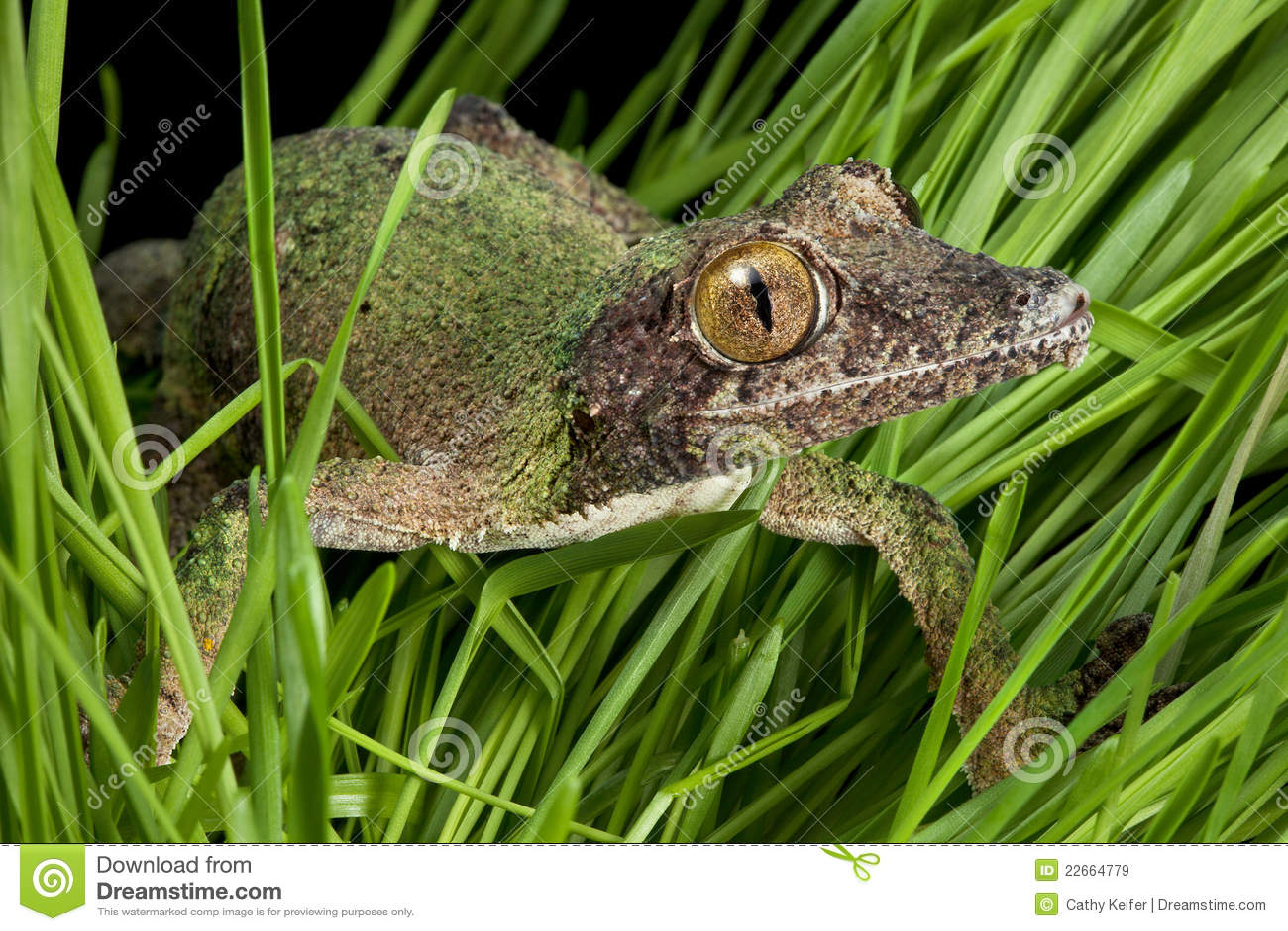Gecko que se arrastra a través de hierba