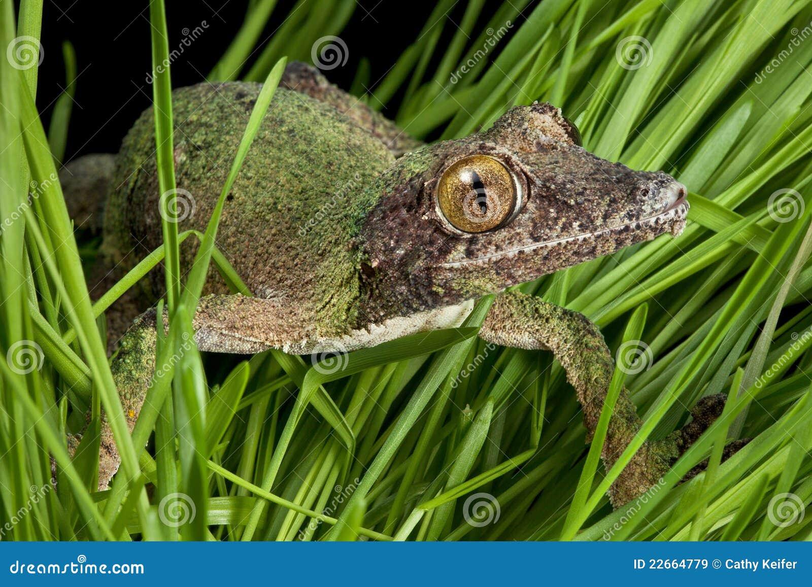 Gecko rampant par l herbe