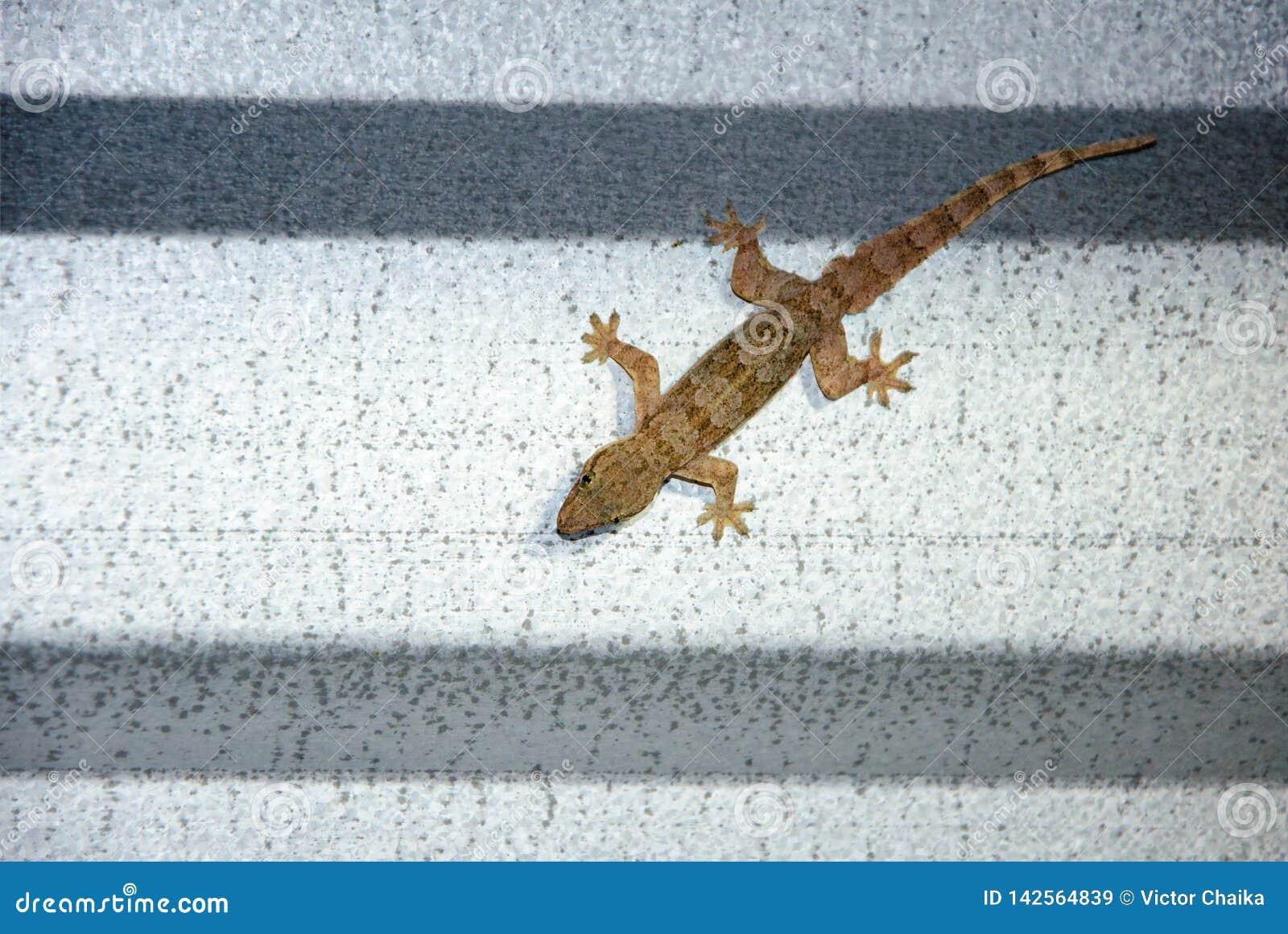 Gecko se reposant sur un toit de bidon