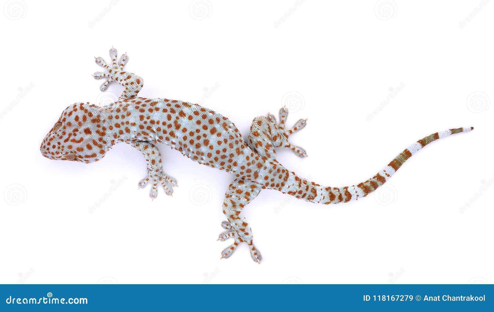 Gecko som isoleras på vit bakgrund