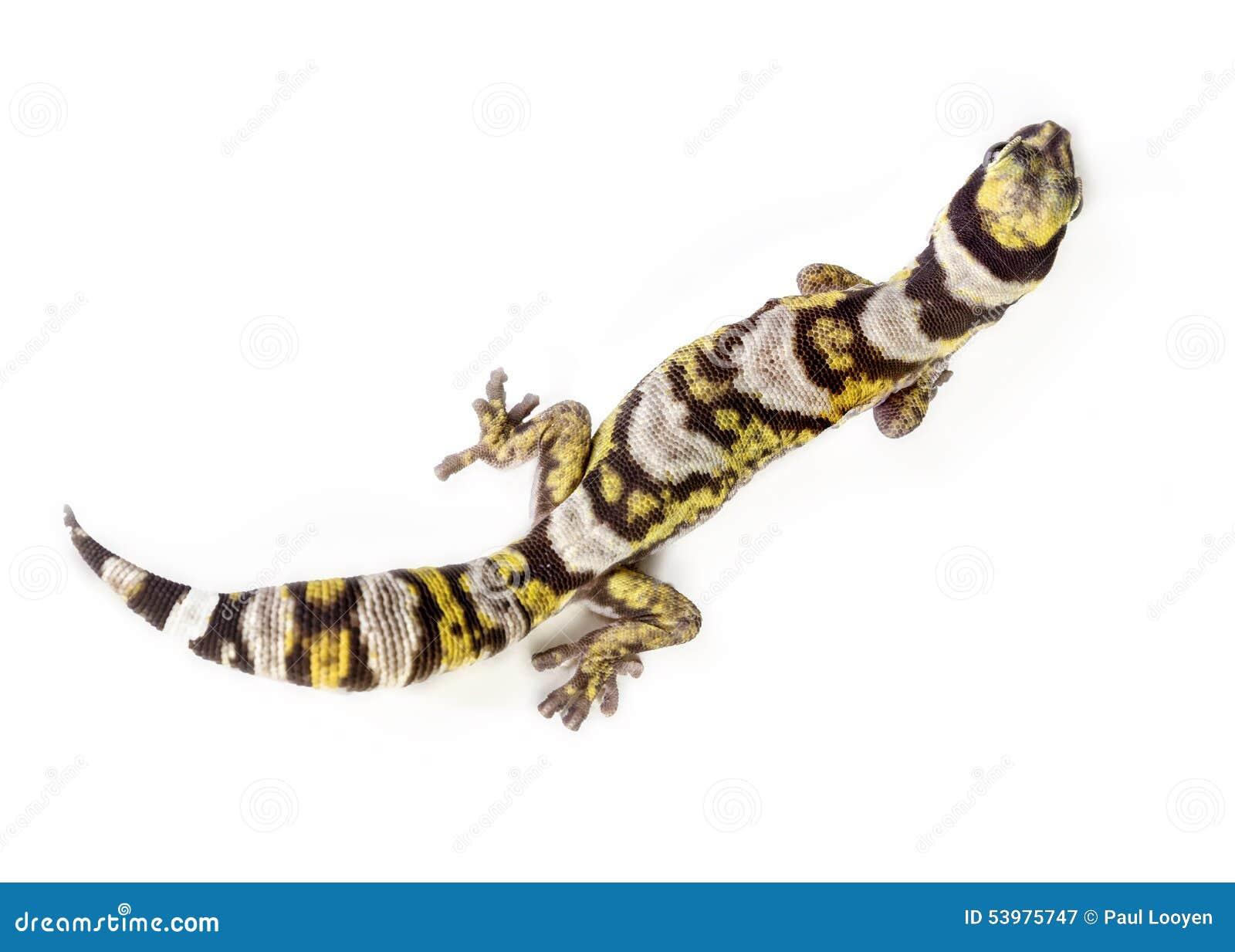 Gecko supérieur