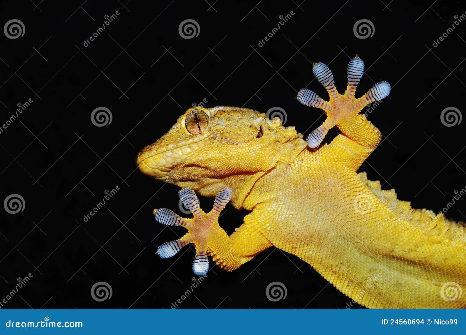 Gecko sur la glace claire