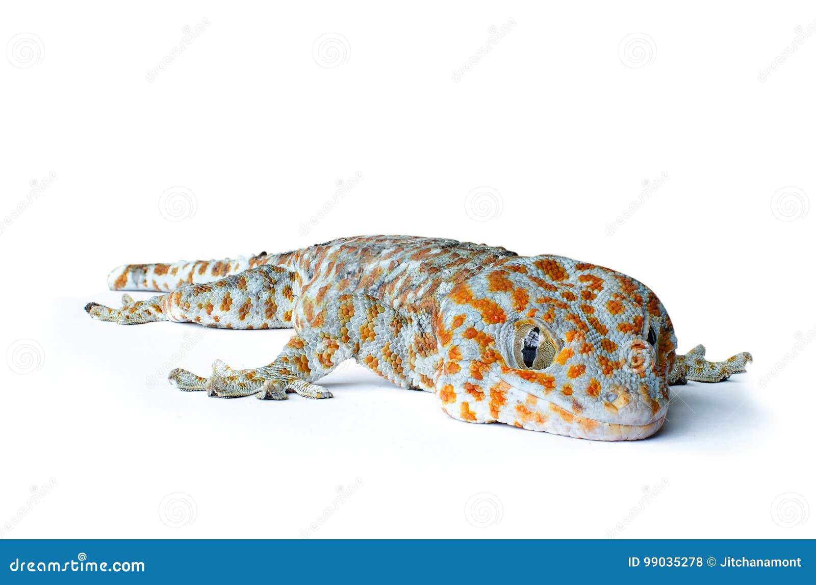 Gecko sur le fond blanc
