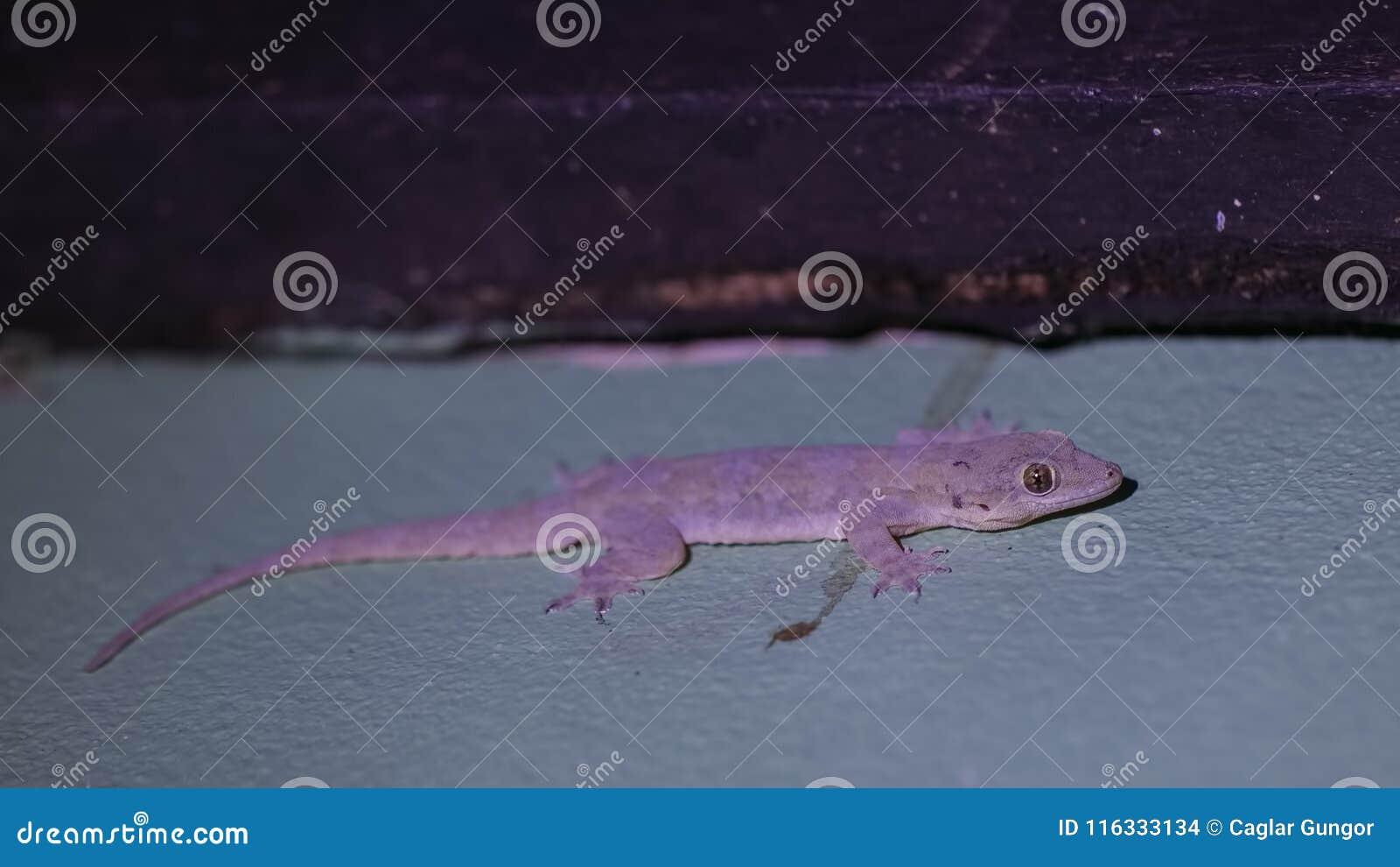 Gecko sur le mur