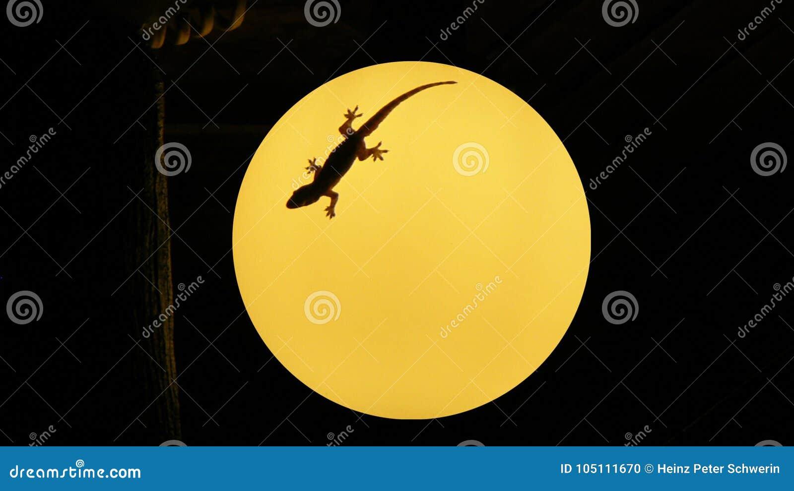 Gecko sur une lampe